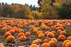 pumpkin-patch-desktop-wallpaper-5653-5939-hd-wallpapers